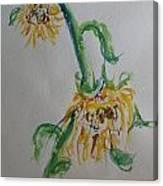 Bashful Sunflower Canvas Print
