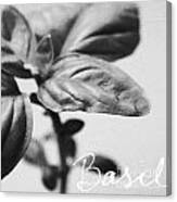Basil Canvas Print