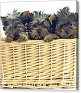 Basket Of Yorkies Canvas Print