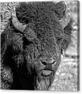 Battle Worn Bull Canvas Print