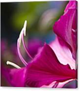 Bauhinia Purpurea - Hawaiian Orchid Tree Canvas Print