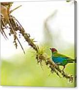 Bay-headed Tanager Canvas Print