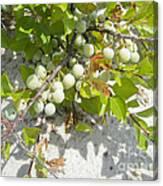 Beach Plum - Prunus Maritima - Island Beach State Park Nj Canvas Print