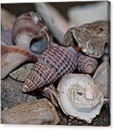 Beach Shells 3 Canvas Print