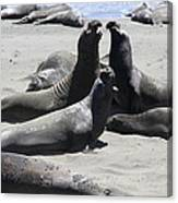 Beachmasters - Elephant Seals Canvas Print