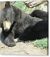Bear At Rest Canvas Print