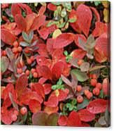 Bearberry In Autumn Yukon Canada Canvas Print