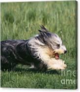 Bearded Collie Dog Canvas Print