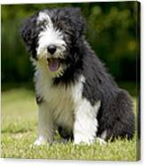 Bearded Collie Puppy Canvas Print