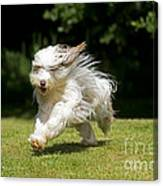 Bearded Collie Running Canvas Print