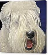 Bearded Collie - The 'bouncing Beardie' Canvas Print