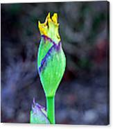 Bearded Iris Bud  Canvas Print