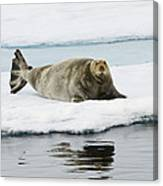 Bearded Seal On Ice Floe Norway Canvas Print