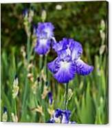 Beautiful And Colorful Iris. Canvas Print
