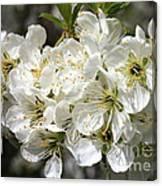 Beautiful Apple Blossoms Canvas Print