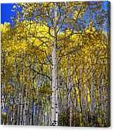 Beautiful Aspen Tree Canvas Print