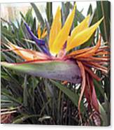 Beautiful Bird Of Paradise  Canvas Print
