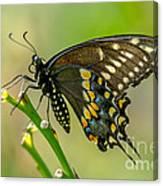 Beautiful Black Swallowtail Canvas Print