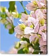 Beautiful Bougainvillea Flowers Against Blue Sky Canvas Print