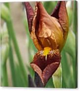 Beautiful Brown Bearded Iris Canvas Print
