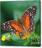 Red Anartia Butterfly 1 Canvas Print