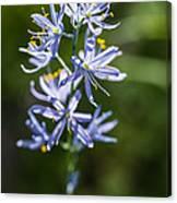 Beautiful Camas Lily In Idaho Canvas Print
