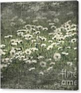 Beautiful Daisies Canvas Print