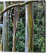 Beautiful Eucalyptus Canvas Print