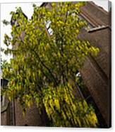 Beautiful Golden Chain Tree In Full Bloom Canvas Print