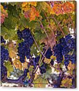 Beautiful Grape Harvest Canvas Print
