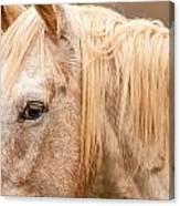 Beautiful Gray Horse Portrait Canvas Print