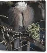 Beautiful Grey Jay Pose Canvas Print