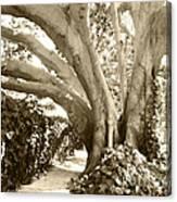 Beautiful Griffith Park Huge Trunk Tree Sepia Black White Vintage Earthy Fine Art Decorative Print Canvas Print
