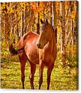 Beautiful Horse In The Autumn Aspen Colors Canvas Print