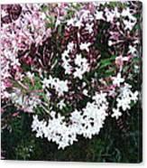 Beautiful Jasmine Flowers In Full Bloom Canvas Print