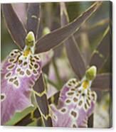 Beautiful Mtssa. Shelob 'tolkien' - Orchids - Mericlone  Canvas Print