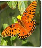 Beautiful Orange Butterfly - Gulf Fritillary Canvas Print