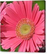 Beautiful Pink Gerber Daisies Canvas Print