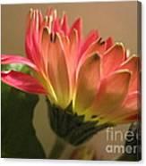 Beautiful Pink Gerbera Daisy 2 Canvas Print