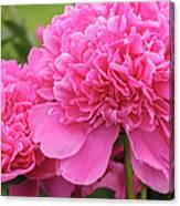 Beautiful Pink Peony Albert Crousse Paeonia Lactifora Albert Cro Canvas Print