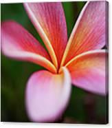 Beautiful Pink Plumeria Blossom Canvas Print