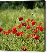 Beautiful Poppies 1 Canvas Print