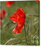 Beautiful Poppies 5 Canvas Print