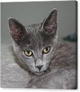 Beautiful Portait Of A Grey Russian Tabby Cat Canvas Print
