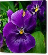 Beautiful Purple Pansies Canvas Print