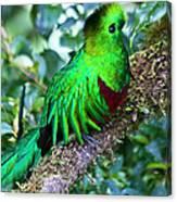 Beautiful Quetzal 2 Canvas Print