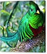 Beautiful Quetzal 4 Canvas Print