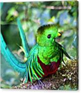 Beautiful Quetzal 5 Canvas Print