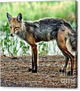 Beautiful Red Fox Canvas Print
