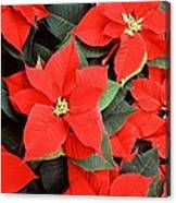 Beautiful Red Poinsettia Christmas Flowers Canvas Print